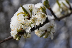 tout fout le camp! (Horace T) Tags: snow macro nature canon spring buds neige printemps bourgeons flickrfriday ef100mm eos60d
