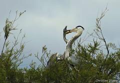 _DSC0424 (chris30300) Tags: france heron de pont parc oiseau camargue gau saintesmariesdelamer flamant provencealpesctedazur ornithologique