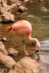 Phoenicopterus (Fjola Dogg) Tags: vacation espaa holiday bird birds animal animals canon island zoo spain europe flamingo tenerife fugl evropa dr phoenicopterus fuglar junglepark evrpa fjoladogg fjladgg canonpowershotg7x canong7x