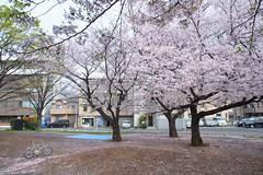 20160409-DSC_6849.jpg (d3_plus) Tags: street sea sky plant flower nature bicycle japan cycling nikon scenery outdoor daily bloom  cherryblossom  sakura streetphoto 28105mmf3545d nikkor   kanagawa    dailyphoto   kawasaki thesedays pottering    28105     28105mm   zoomlense    28105mmf3545  d700 281053545 kanagawapref  nikond700 aiafzoomnikkor28105mmf3545d  28105mmf3545af aiafnikkor28105mmf3545d