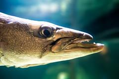 fish animal closeup aquarium profile predator barracuda mystic