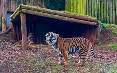 Tigers 5th March 2016 (JDurston2009) Tags: zoo tiger devon sumatrantiger paignton paigntonzoo zoologicalgardens pantheratigrissumatrae paigntonzoologicalgardens