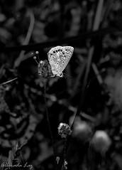 Luz en las alas (alboraditta) Tags: animal butterfly mariposa insecto macrofotografa