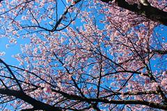 Japanese Cherry Tree in full blossom (mikkelfrimerrasmussen) Tags: pink tree copenhagen cherry japanese blossom full have kbenhavn botanisk sooc