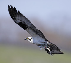 Osprey with fish (Mawrter) Tags: wild fish nature canon outdoors fly flying wings fishing angle outdoor wildlife flight wing depthoffield catch prey osprey specanimal ospreywithfish outspread