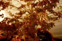 #maple #Bonsai #Acer (rO bert) Tags: maple acer bonsai