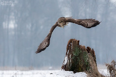 Start (lookashG) Tags: winter mist snow bird nature wet birds animal animals fog fauna haze wildlife lot natura aves wintertime zima animalia buteobuteo nieg ptak mga ptaki onthefly commonbuzzard zwierzta myszow wlocie mgy portretrodowiskowy 70400mmf456gssm lookashggmailcom portraitofenvironmental ukaszgwidziel sonyilca77m2