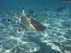 Shark Close-up (Craigs Travels) Tags: swimming shark snorkeling southpacific borabora frenchpolynesia blacktipreefshark societyislands