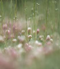 roselline (baudinellistefania) Tags: primavera rosa campo fiori petali prato luce stelo fioritura