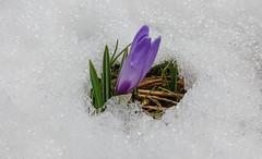20160410_115054 (buliro) Tags: winter flower primavera spring italia hiver it fiore printemps nus valledaosta aostavalley valledaoste porliod