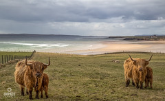 Double trouble at feeding time (Impact Imagz) Tags: beach water clouds canon fence scotland sand waves cattle cows fences horns croft coastline fencing browncow gress crofts crofting westernisles highlandcattle cloudscapes isleoflewis calves fenceposts outerhebrides sealoch broadbay visitscotland highanders gressbeach croftlife lochatuath croftingtownship
