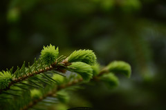 fir-needle (intui.pro) Tags: green pine forest garden spring fresh cedar april shoots needles spruce sprouts