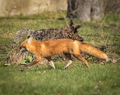 Foxes Returned (bcaldwellphoto.com) Tags: nature animal animals wildlife fox wildanimal foxes redfox redfoxes