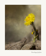 Essence of a Coltsfoot (BirgittaSjostedt.) Tags: plant flower macro texture nature closeup paint outdoor unique ie coltsfoot tussilagofarfara photoborder magicunicornverybest birgittasjostedt