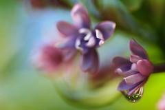 Lilacs & Droplets (erin lanigan) Tags: flowers droplet lilacs