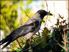 20160420-039 (sulamith.sallmann) Tags: berlin bird deutschland tiere deu vogel krhe corvus rabenvogel nebelkrhe sulamithsallmann