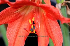 16OrangeLily_3792n (OJCPhotoInc) Tags: flowers macro canon springflowers macroflowers macrophotography prettyflowers wetflowers colorfulflowers bloomingflowers flowersintherain canon580exii canoneos7d canonef100mmf28lismacro ojcallahanphotography waterdropflowers spring2016flowers 2016colorfulflowers