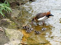 Egyptian goose with goslings (BrigitteE1) Tags: bird birds gosling egyptiangoose gänseküken küken nilgans specanimal nilgansmitküken egyptiangoosewithgoselings