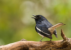 Oriental Magpie Robin - Male. (Vikas.B.Chavan) Tags: nikon orientalmagpierobin copsychussaularis d7100 nikontc17eii afsnikkor300mmf4difed