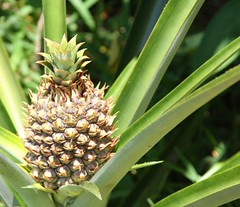 Pineapple in my garden (greenkayak) Tags: plant nature florida blossom pineapple april bromeliad homegrown valrico