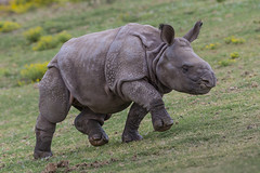 Calf Joins Crash of Greater One-horned Rhinos at Safari Park (San Diego Zoo Global) Tags: travel baby cute tourism nature animals zoo sandiego conservation rhino rhinoceros safaripark greateronehorned sandiegozooglobal2016
