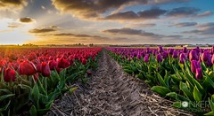 Tulipfield in The Netherlands  (melvinjonker) Tags: flowers sunset red sun flower holland nature field sunshine composition landscape colorful colours view purple sundown tulips sony ngc tulip mothernature tulipfield noordwijk naturelovers flowerfield natureperfection landscapelovers jawdroppingshots sonya58 landscapeperfection