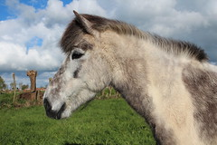 IMG_9939 (fraroan) Tags: paarden ponys tolt rijden paardrijden ijslander ijslandse ijslanders fraroan telgang westbemster