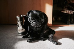 Knuckles in the sun (dunapoo) Tags: pug