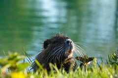 Mr Nutria (SarnanoSue) Tags: animals countryside wildlife sony lakes campagna animale marche nutria marches lemarche laghi rx10 montecosaro igersmarche sonyrx10 ilovemarche