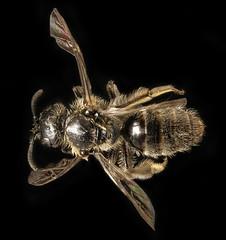 Dufourea novaeangliae, f, back, Washington Co, ME_2016-04-15-21.06 (Sam Droege) Tags: bug insect bees maine bee pickerelweed hymenoptera apoidea droege dufourea samanthagallagher taxonomy:binomial=dufoureanovaeangliae