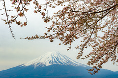 2016 Spring Fuji (shinichiro*) Tags: flower daylight spring fuji jp april  sakura cherryblossoms crazyshin  2016 lakekawaguchi    afsnikkor2470mmf28ged nokpnd4s 20160410ds30214