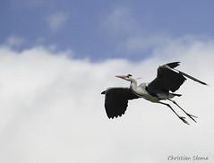 _DSC0514 (chris30300) Tags: france heron de pont parc oiseau camargue gau saintesmariesdelamer flamant provencealpesctedazur ornithologique