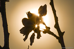 DSC_8637 (Frankie Tseng ()) Tags: park pink flowers sunset sky bw flower silhouette photography 50mm blackwhite nikon outdoor flash sunny tokina cherryblossoms fade nikkor 70300mm tamron 90mm f8 1224mm f28 f4 1870mm bwphotography blackwhitephotography portraitphotography outdoorportrait sb900 yongnuo outdoorportraitphotography yn568