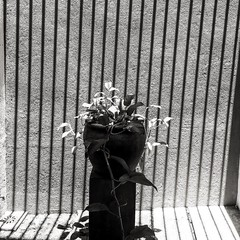 Jibóia #blackandwhite #plants #garden #Flickr #stripes #vase #home #serenity #shadows #contrast (Bruno Abreu) Tags: instagram ifttt