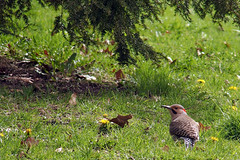 P4280102B (The Real Maverick) Tags: toronto ontario canada highpark outdoor northernflicker torontoparks olympusstylus1