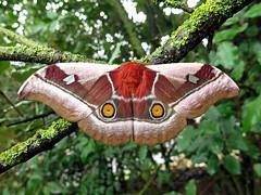 Bunaea alcinoe (Male) (Lepsibu) Tags: saturniidae