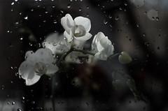 littel white orchid (Ewa Sokol) Tags: white orchid flower fleur bokeh blume orchide krople orchidea kwiat
