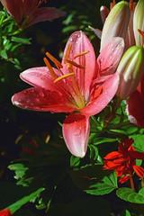 Lilium sp. Hybrid Liliaceae Lilioideae Lilieae-Asiatic lily,  (SierraSunrise) Tags: pink flowers flower festival thailand chiangrai liliaceae ornamentals lilioideae lilieae