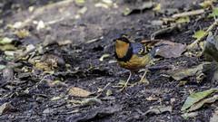 Varied Thrush (Bob Gunderson) Tags: sanfrancisco california goldengatepark birds northerncalifornia botanicalgardens ixoreusnaevius variedthrush thrushes