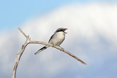 Loggerhead Shrike (bmse) Tags: canon san l f56 loggerhead jacinto salah shrike 400mm wingsinmotion 7d2 bmse baazizi