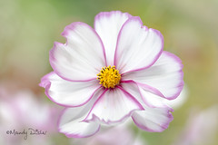 Cosmos Picotee (Mandy Disher) Tags: summer flower nature floral beauty flora fresh cosmos picotee