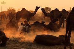 (Shyjith Kannur Photography) Tags: street travel people canon dust pushkar camels rajasthan pushkarcamelfair