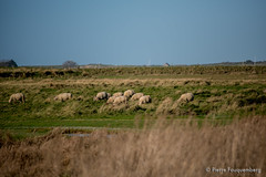 Moutons de prs sals (Pierre Fauquemberg) Tags: nikon granville normandie calvados moutons prs prssals herbes cotentin gramins regnvillesurmer nikond750 pierrefauquemberg