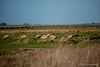 Moutons de prés salés (Pierre Fauquemberg) Tags: nikon granville normandie calvados moutons prés préssalés herbes cotentin graminés regnévillesurmer nikond750 pierrefauquemberg