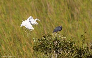 Little Blue Heron (Egretta caerulea) LBHE-
