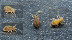 springtail, Katiannidae gen Nov1 sp. nov (David_W_1971) Tags: collembola raynox msn202