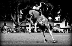 El overo (Eduardo Amorim) Tags: horses horse southamerica argentina criollo caballo cheval caballos cavalos pferde herd cavalli cavallo cavalo gauchos pferd ayacucho chevaux gaucho cavall  amricadosul gacho amriquedusud provinciadebuenosaires  gachos  sudamrica suramrica amricadelsur sdamerika crioulo caballoscriollos criollos  tropillas buenosairesprovince americadelsud tropilhas tropilla crioulos cavalocrioulo americameridionale tropilha caballocriollo eduardoamorim cavaloscrioulos