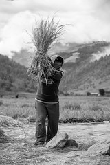 India_North_East_124 (Georg Dombrowski) Tags: life blackandwhite bw india rice harvest reis schwarzweiss ernte swsw streetphotograhy arunachalpradesh northeastindia sangtivalley sangtievalley