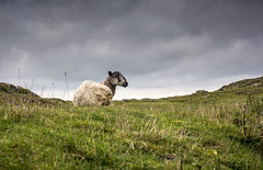 What Ewe Looking At.. (Steve Millward) Tags: light sky cloud mountain nature grass animal 35mm interesting nikon view sheep cloudy outdoor derbyshire scenic sharp nikkor staffordshire prespective ewe ilam primelens fixedfocallength d5200 stevemillward peakdistrictthorpe