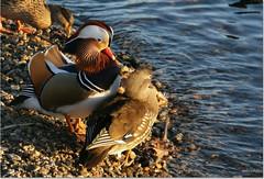 ...I signori Mandarina al tramonto sul lago (alesolofoto) Tags: acqua coppia aixgalericulata camminando lagodivarese anatramandarina